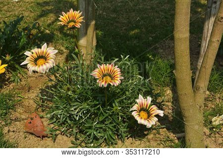 Close Up Of A Beautiful Gazania Big Kiss White Flame ( Treasure Flower),  Gazania Rigens Flowers, So