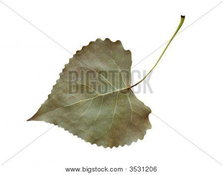 Cottonwood Leaf