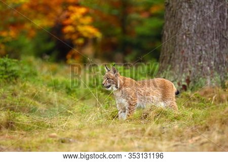 The Eurasian Lynx (lynx Lynx) A Young Lynx In Green Plants, Autumn Forest Background.