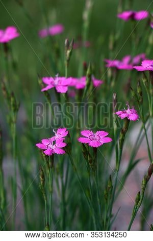 On A Grey-green Background Rare Pink Flowers And Buds Of A Dianthus Deltoids.