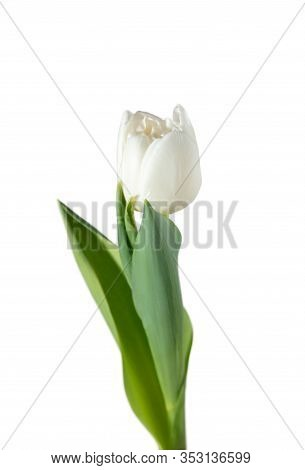 White. Close Up Of Beautiful Fresh Tulip Isolated On White Background. Copyspace For Your Ad. Organi