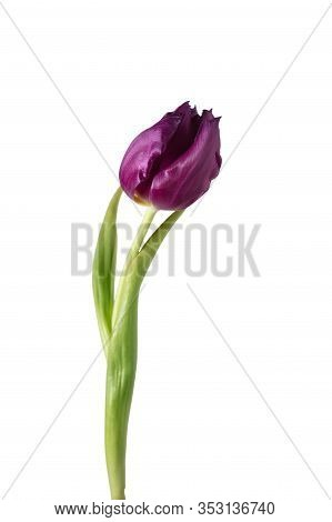 Purple. Close Up Of Beautiful Fresh Tulip Isolated On White Background. Copyspace For Your Ad. Organ