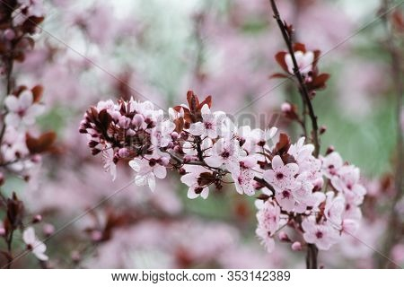 Pink Cherry Plum Blossom, Purple-leaf Tree, Prunus Cerasifera , Detail, Branch, Blossoms, Tree, Turk