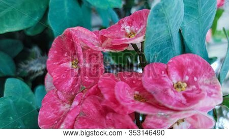 Close Up Of Crown Of Thorns Christ Thorn Flower Euphorbia Milli Red Color On Green Leaf Flower Poi S