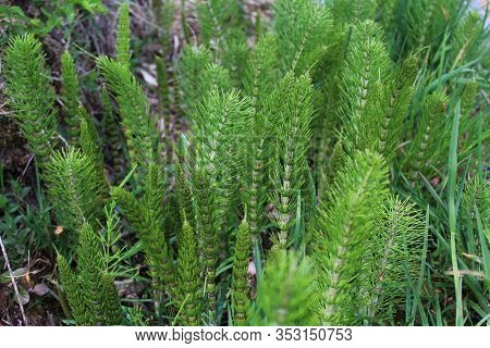 The Picture Shows A Field Of Horsetails In The Forest