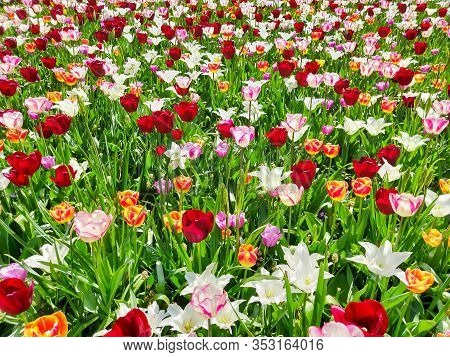 Colorful Red, Yellow  And White Tulips Flowers Field, Natural Spring Background.