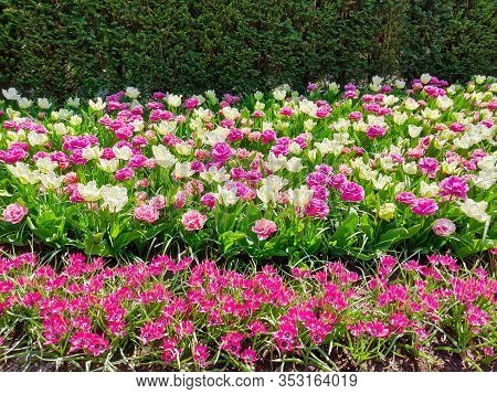 Colorful Pink And White Tulips Flower Bed,  Spring Garden.