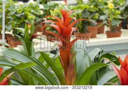 Close-up Of The Guzmania Lingulata Plant. It Was Taken In The Garden Market.