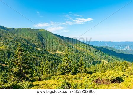 Mountain Scenery In The Morning. Coniferous Trees On Forested Hillside With Grassy Slopes. Stunning