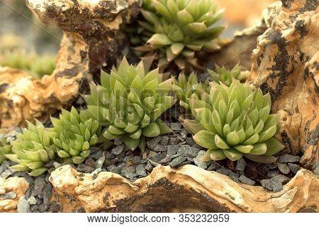 Miniature Succulent Plants Garden In The Snag.