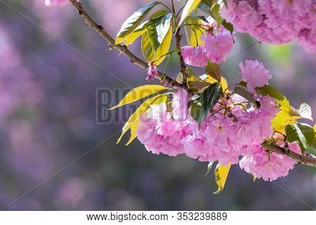 Sakura Branch In Backlit Sunlight. Beautiful Nature Background Of Cherry Blossom In Springtime