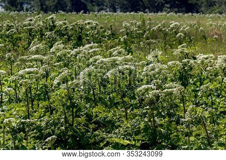 Giant Hogweed, Plant Of Giant Hogweed Growing In Field, Heracleum. Many Plants
