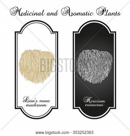 Lions Mane Mushroom Hericium Erinaceus , Edible And Medicinal Plant. Hand Drawn Botanical Vector Ill