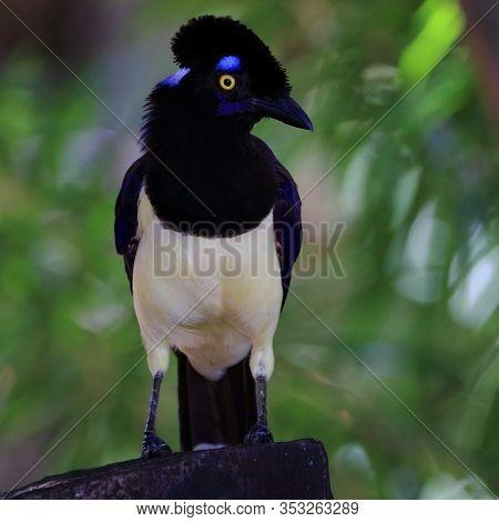 Free Plush-crested Jay In Nature. Bonito, Mato Grosso Do Sul