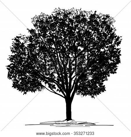 Silhouette Of A Chestnut (castanea L.) Tree With Dense Foliage, Black Vector Image On A White Backgr