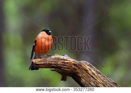 The Bullfinch, Common Bullfinch Or Eurasian Bullfinch ( Pyrrhula Pyrrhula) Sitting On The Branch Wit