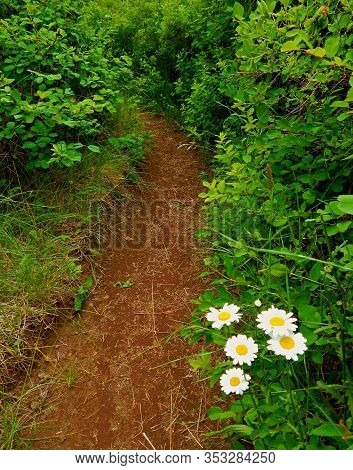 Daisy Path - Hiking Trail Along The East Side Of The Metolius River - Near Camp Sherman, Or