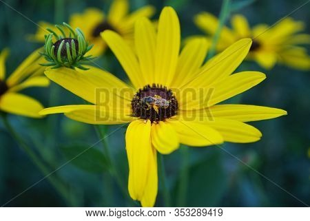 Close Up Of A Small Honey Bee On A Black Eyed Susan Daisy Flower In My Backyard Garden