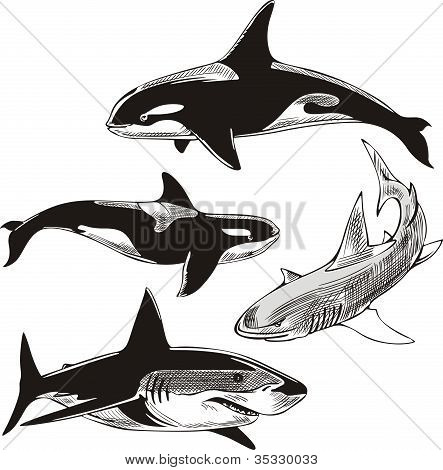 Sharks and killer whales. Set of black and white vector illustrations. poster