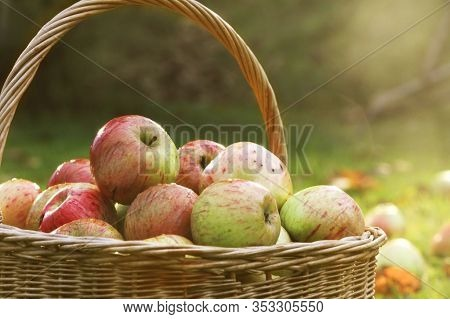 Fresh Apples. Apples As A Background For Designers. Lots Of Apples. Leaves Of Apple. Freshly Harvest