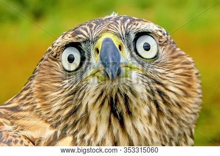 Funny Portrait Of A Large Eagle Bird With A Funny Face And Surprised Eyes, Close-up