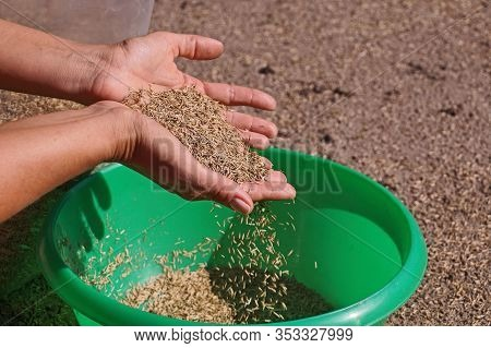 Lawn Installation. Pouring Grass Seeds From The Packaging Into The Bowl.
