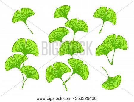 Ginkgo Or Gingko Biloba Branches And Leaves Set. Nature Botanical Vector Illustration, Herbal Medici