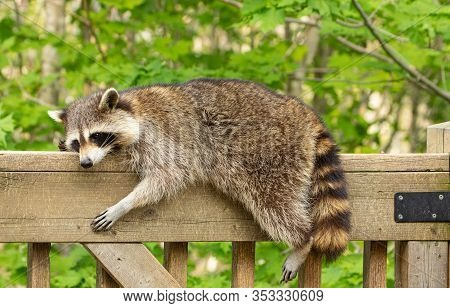 One Mother Raccoon Stretched Out On The Railing Of A Weathered Wooden Deck, Relaxing In The Sun On A