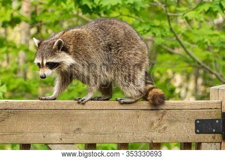 Mother Raccoon Perched On The Railing Of A Weathered Wooden Deck Against A Green Leafy Backgrounding