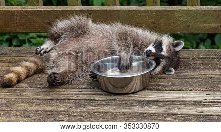 Playful Baby Raccoon Splashing Its Paw In A Bowl Of Cool Water On A Warm Day In Oak Mountain, New Br