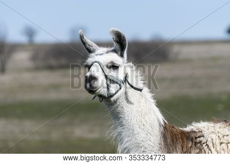 Closeup Portrait Of The Head Of A Brown And White Llama Wearing A Harness With Its Head Slightly Tur