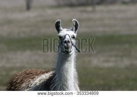 Closeup Of A Cute White And Brown Llama Standing In A Ranch Pasture And Staring Into The Camera Lens