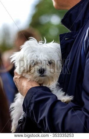 A Portrait Of A Small White Boomer Puppy Dog Being Held By Some Because It Is Tired And To Small To