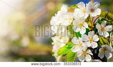 Spring Blossom Background. Nature Realistic Scene With Blooming Tree And Sun Flare. Sunny Day. Sprin