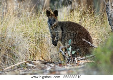 Swamp Wallaby - Wallabia Bicolor Small Macropod Marsupial Of Eastern Australia. Known As The Black W