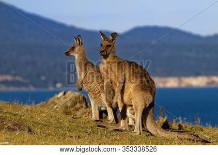 Macropus Giganteus - Eastern Grey Kangaroo Marsupial Found In Eastern Third Of Australia, Also Known