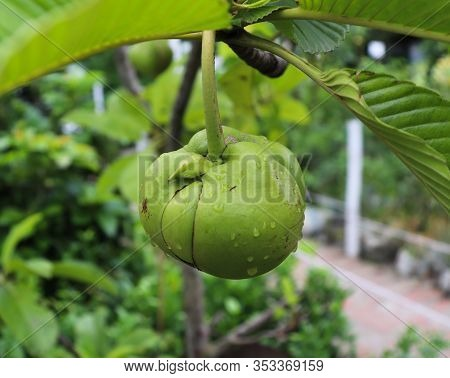 Dillenia Indica Fruit One The Tree. Elephant Apple Fruit