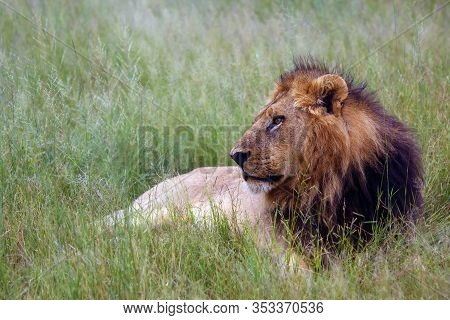 The Southwest African Lion Or Katanga Lion (panthera Leo Bleyenberghi) In The Grass. Big Lion With D