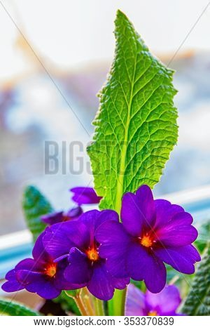The Flowering Spring Flowers Are The Julia Primrose, Also Known As The Julia S Primrose Or Purple Pr
