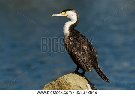 Pied Shag - Phalacrocorax Varius - Karuhiruhi Drying Its Wings And Feathers After The Sea Hunting. A