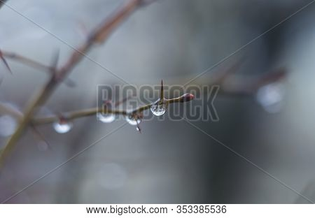 Water Drops On Tree Branch In The Rainy Twilight. Bokeh Background. Natural Outdoor Concept. Macro.