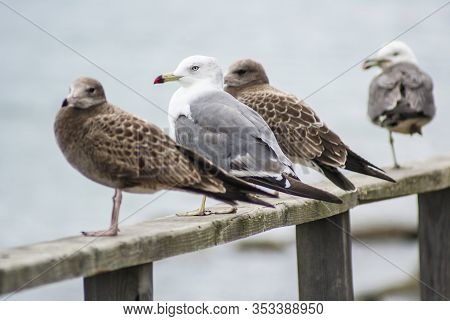 Two Brown Gulls And Two White-gray Gulls Are Sitting On A Wooden Handrail.