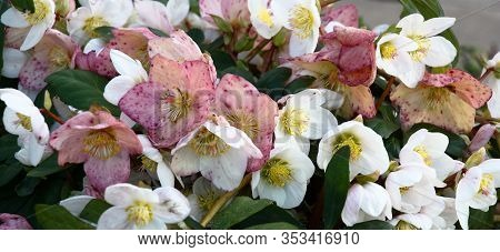 The Day Winter Sun Lights Fresh Flowers Of A Helleborus Niger With Bright White And Pink Petals.