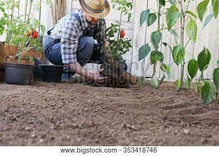 Man Plant Out Tomatoes From The Pots Into The Soil Of The Vegetable Garden, Works To Grow And Produc