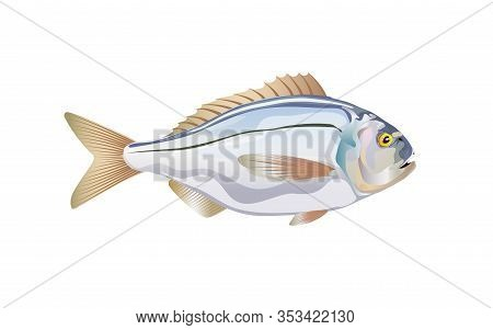 Dorado. Fish Atlantic Ocean Isolated On White Background. Vector Illustration With Details And Flat