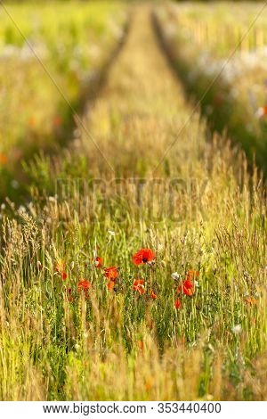 Tracks In A Flower Meadow In Sprint Time With Poppies And Long Grasses. Lnadscape In Norfolk, Uk. Sh