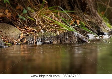 Platypus - Ornithorhynchus Anatinus, Duck-billed Platypus, Semiaquatic Egg-laying Mammal Endemic To