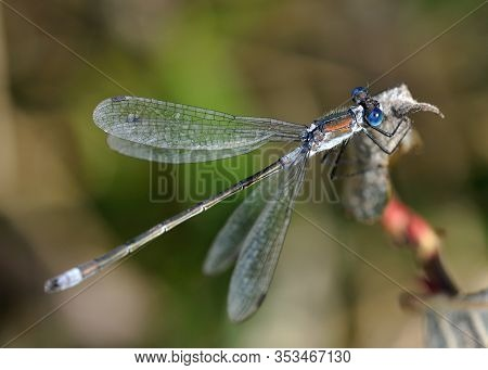 Emerald Damselfly - Lestes Sponsa  Damselfly, With A Wide Palaearctic Distribution. It Is Known Comm