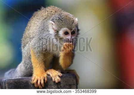 Guianan Squirrel Monkey Eating In Urban Park, Animal Brazil Monkey Enviroment