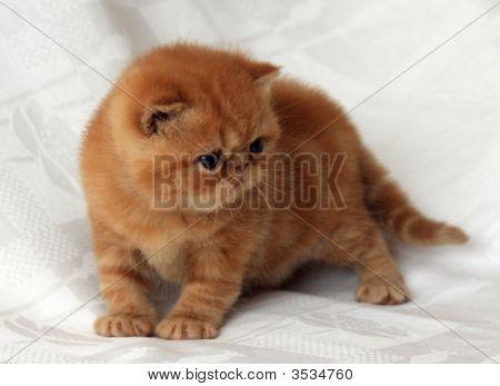 Red Exotic Kitten